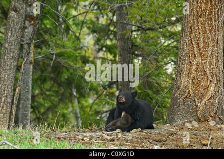 Black Bear Mother's Love - Stock Photo