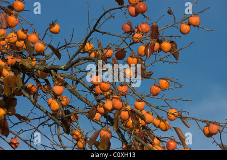 Persimmons on the tree in blue sky at autumn in Provence ( diospyros lotus), kaki (kakis) sur un plaqueminier - Stock Photo