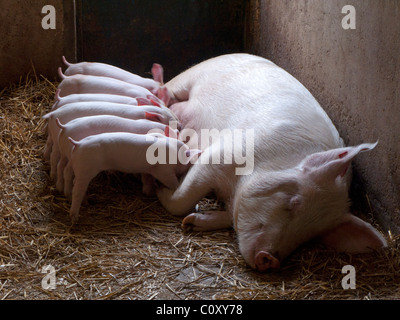 Sow suckling piglets - Stock Photo