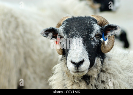 A close up head shot of a shaggy lamb / ram tagged on the ears, the lamb is inside of a pen with other sheep it - Stock Photo