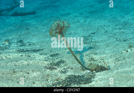 Yellow Spiral tube-worm - Red feather duster - Sabellid worm - Fan worm (Spirographis spallanzanii - Sabella spallanzanii) - Stock Photo