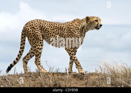 Female cheetah, Acinonyx jubatus, searching for prey, Simba Kopjes, Serengeti, Tanzania - Stock Photo