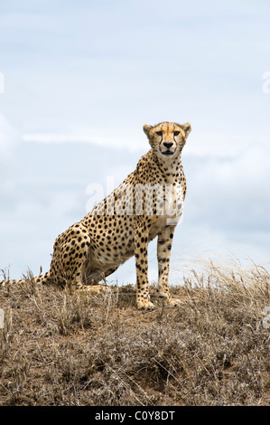 Female cheetah, Acinonyx jubatus, searching for prey, Simba Kopjes, Serengeti, Tanzania - Stock Photo