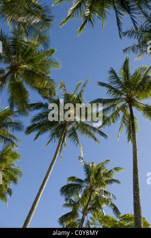 Palm trees against a deep blue sky, Whitsunday Islands, Queensland, Australia - Stock Photo