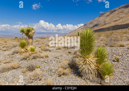 Joshua tree forest, Yucca brevifolia, on the Racetrack road, Death Valley National Park, California, USA - Stock Photo