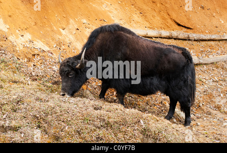 Yak grazing in the highlands of Bhutan - Stock Photo