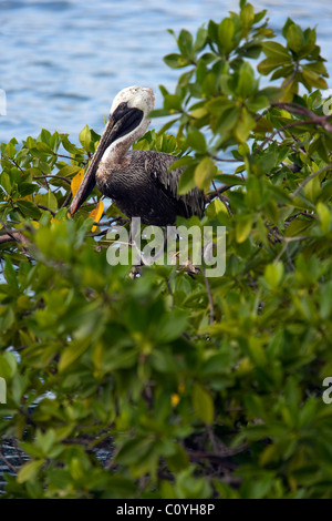 Brown Pelican - Santa Cruz Island - Galapagos Islands, Ecuador - Stock Photo