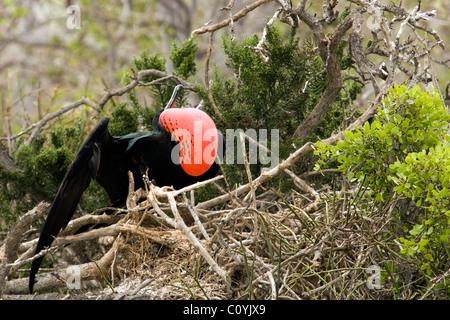 Male Magnificent Frigatebird - North Seymour (Seymour Norte) Island - Galapagos Islands, Ecuador - Stock Photo