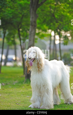 White afghan hound dog standing on the lawn - Stock Photo