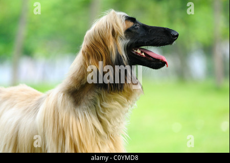 An afghan hound dog standing on the lawn - Stock Photo