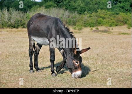 Grand Noir du Berry donkey grazing in field, La Brenne, France - Stock Photo