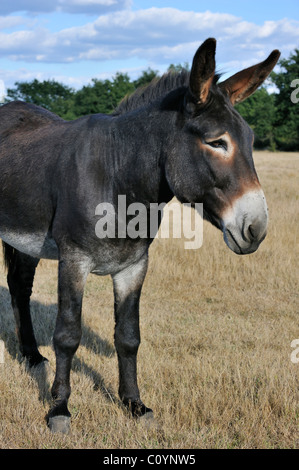 Close-up of Grand Noir du Berry donkey in field, La Brenne, France - Stock Photo
