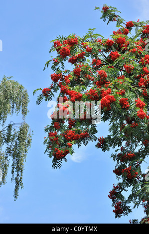 Red berries of European Rowan / mountain ash (Sorbus aucuparia) in autumn - Stock Photo