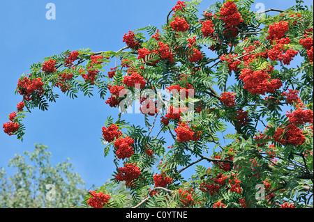 Red berries of European Rowan / mountain ash (Sorbus aucuparia) in autumn - Stock Photo