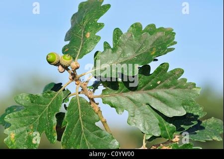Sessile / Durmast oak (Quercus petraea / Quercus sessiliflora), acorns and leaves - Stock Photo