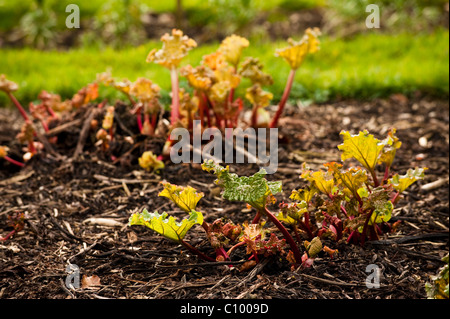 Bed of Rhubarb, Rheum rhabarbarum, sprouting in February - Stock Photo