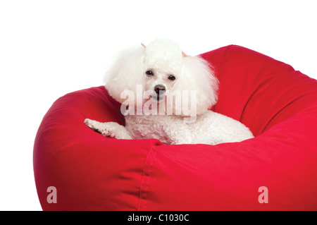 An adorable white toy poodle snuggled up in a red bean bag chair. Shot in the studio on an isolated white seamless - Stock Photo