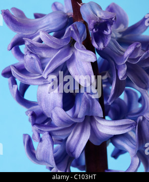 Blue Hyacinth (Hyacinthus orientalis) Flower - Stock Photo