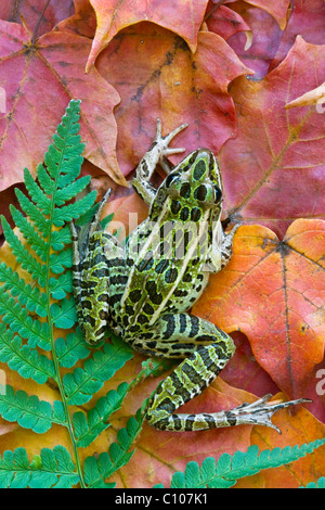Northern Leopard Frog Rana pipiens on Maple leaves Eastern USA - Stock Photo