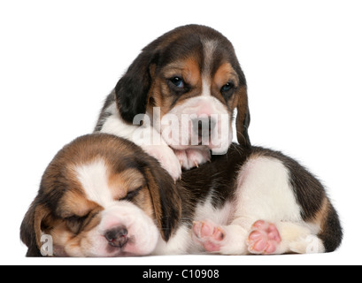Two Beagle Puppies, 1 month old, in front of white background - Stock Photo