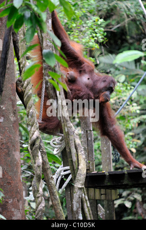 Orangutan mother and child during feeding time at the Semenggoh wildlife Centre in Kuching, Malaysia - Stock Photo