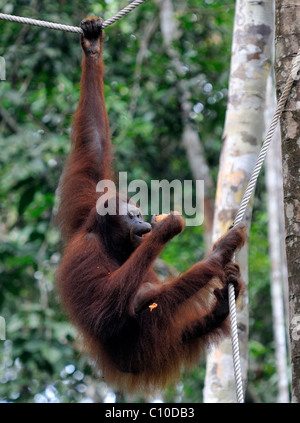 Bornean Orangutan climbing on a rope to feed in the Semenggoh Rehabilitation Centre, Kuching, Sarawak, Malaysia, - Stock Photo