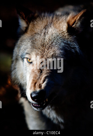 WOLF, BROWN, SNARLING - Stock Photo