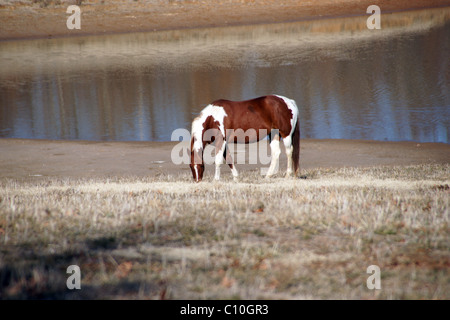 A brown and white horse grazing on a hillside in front of a pond in the fall in Northeast Arkansas - Stock Photo