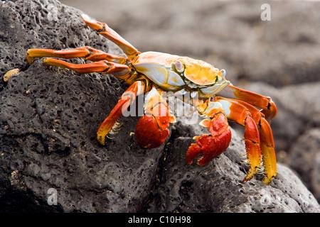 Sally Lightfoot Crab (Red Rock Crab) at Barge Beach - Santa Cruz Island, Galapagos Islands, Ecuador - Stock Photo