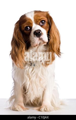 A sitting Cavalier King Charles Spaniel dog - Stock Photo