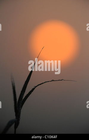 Blades of grass in back light, morning mood - Stock Photo