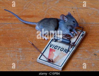 Common house mouse (Mus musculus) in trap, dead, caught