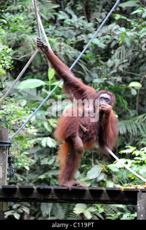 Bornean Orangutan mother and child feeding time at the Semenggoh wildlife Centre in Kuching, Malaysia, Sarawak, - Stock Photo