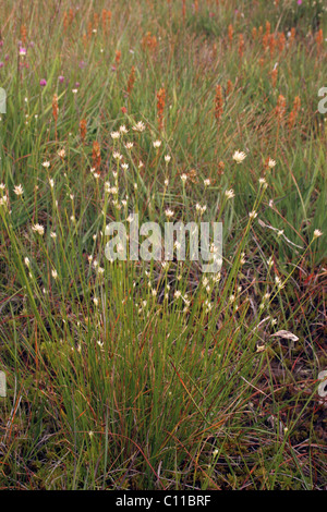 White beak-sedge (Rhynchospora alba : Cyperaceae) on moorland, UK. - Stock Photo