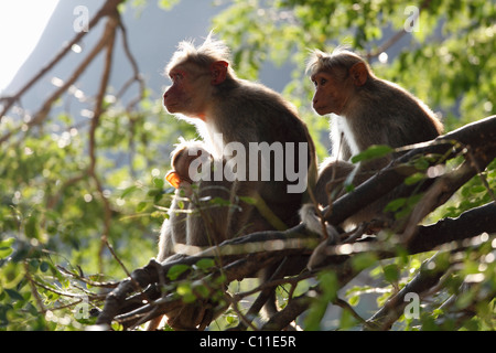Rhesus macaques or Rhesus monkeys (Macaca mulatta), Courtallam, Western Ghats, Tamil Nadu, Tamilnadu, South India, - Stock Photo