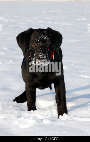 Black Labrador Retriever puppy, young male dog, playing in the snow, winter - Stock Photo