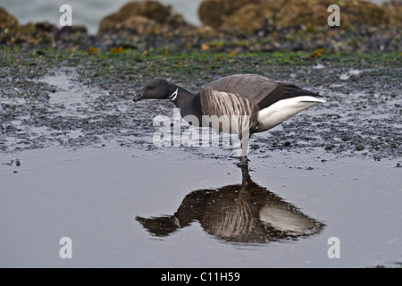 Brent Goose (Branta bernicla)  (dark bellied) feeding on sea shore - Stock Photo