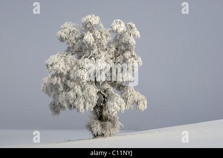 Silver Birch (Quercus robur) covered in thick hoar frost, Biosphaerengebiet Schwaebische Alb biosphere reserve, - Stock Photo