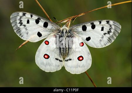 Mountain Apollo butterfly (Parnassius apollo), Biosphaerengebiet Schwaebische Alb biosphere reserve, Swabian Alb - Stock Photo