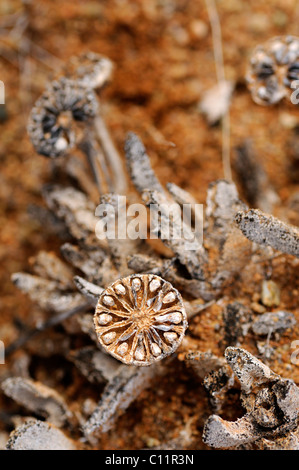Open, emptied seed capsule of Leipoldtia, Richtersveld, South Africa, Africa - Stock Photo