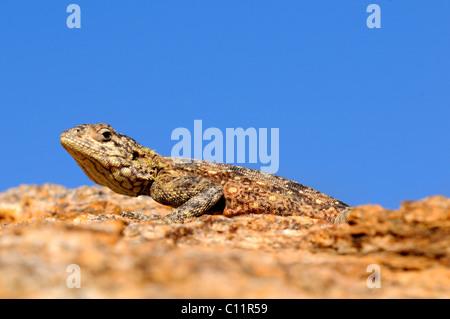Southern Rock Agama (Agama atra), female, Namaqualand, South Africa, Africa - Stock Photo