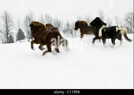 Icelandic Horses, Upstate New York - Stock Photo