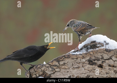 Blackbird (Turdus merula) threatening European Starling (Sturnus vulgaris) - Stock Photo