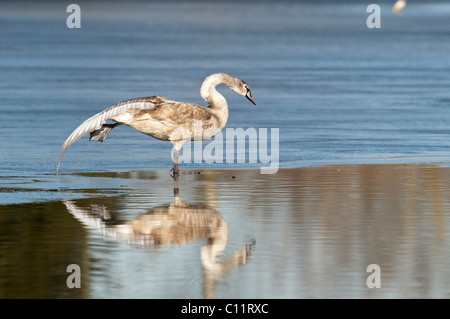 Mute swan (Cygnus olor), stretching one foot - Stock Photo
