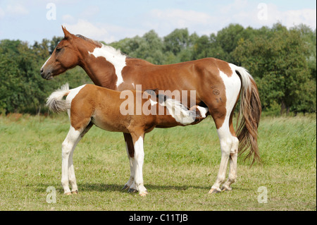 German Riding Pony, mare with foal, suckling - Stock Photo
