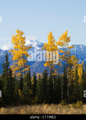 Indian Summer along Alaska Highway, Trembling Aspen Trees, Quaking Aspen, Quakies (Populus tremuloides), trees in - Stock Photo