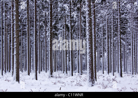 Snow-covered coniferous forest in winter, common spruce (Picea abies), Tangstedter Forst forest, Schleswig-Holstein - Stock Photo