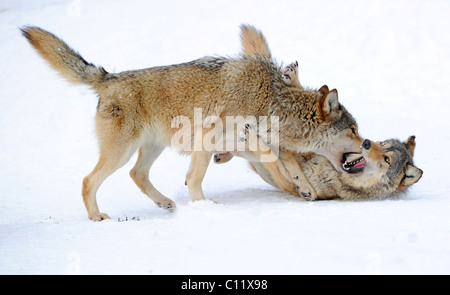 Fighting, playing wolves, cub, Mackenzie Wolf, Alaskan Tundra Wolf or Canadian Timber Wolf (Canis lupus occidentalis) - Stock Photo