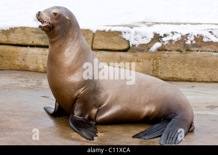 California Sea Lion (Zalophus californianus) - Stock Photo