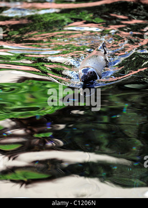 Spheniscus humboldti. The penguin floats in water. Multi-colored reflections. - Stock Photo